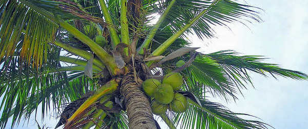 coconut telegraph3