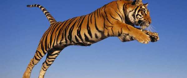 New Philippine Tiger Has Wings